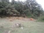 Stier neben dem Weg